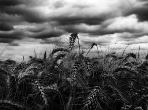 Champ de blé sous ciel orageux. Auteur: Elian Chrebor