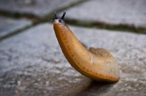 Proud Slug by Darren Johnson (CC BY 2.0)